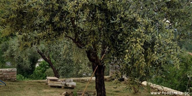 ελια (το δέντρο)